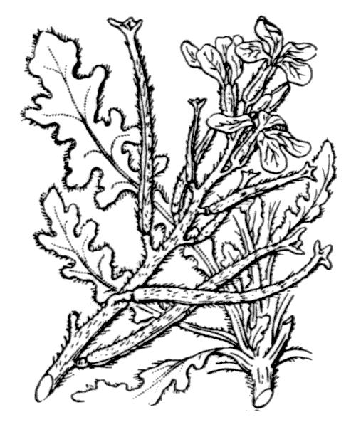 Matthiola tricuspidata (L.) R.Br. - illustration de coste