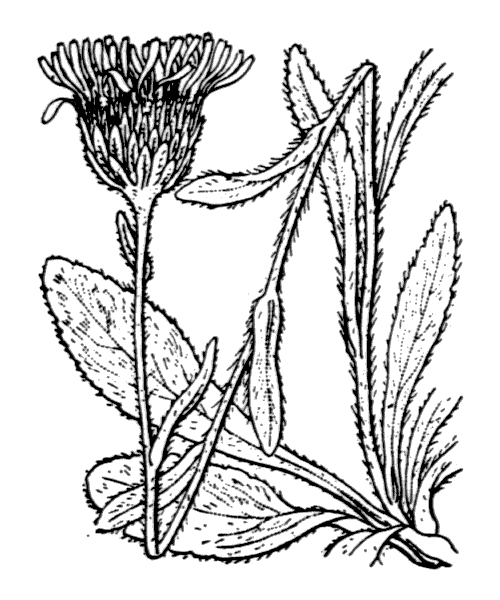 Inula montana L. - illustration de coste