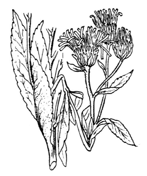 Pentanema helveticum (Weber) D.Gut.Larr., Santos-Vicente, Anderb., E.Rico & M.M.Mart.Ort. - illustration de coste