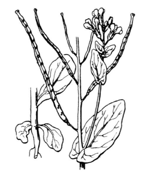 Conringia orientalis (L.) Dumort. - illustration de coste
