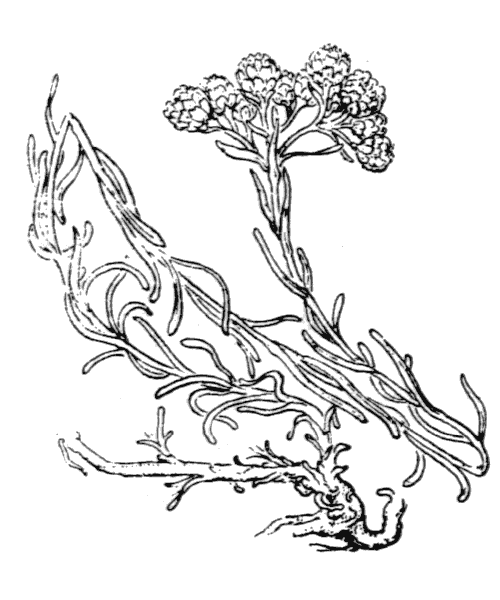 Helichrysum stoechas (L.) Moench - illustration de coste