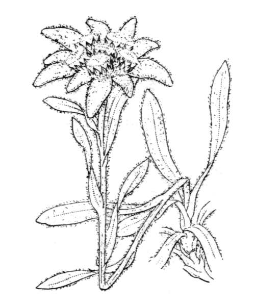 Leontopodium nivale (Ten.) Huet ex Hand.-Mazz. - illustration de coste