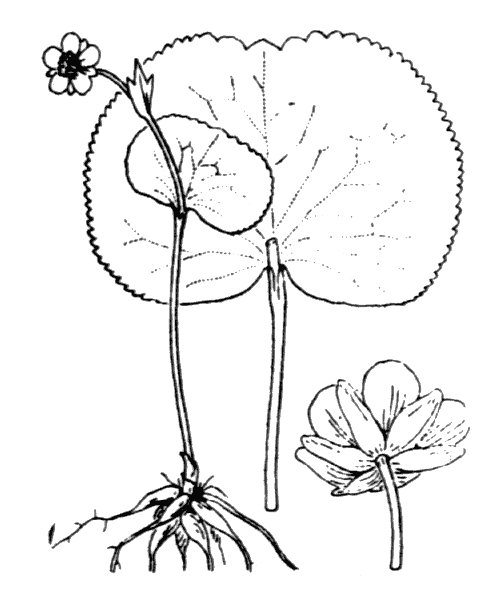 Ranunculus thora L. - illustration de coste