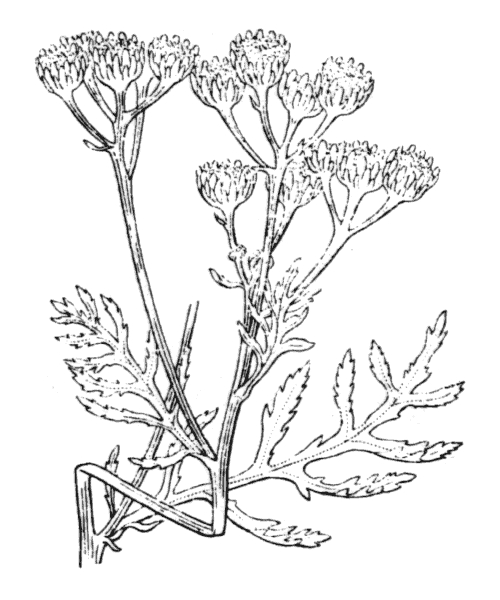 Tanacetum vulgare L. - illustration de coste