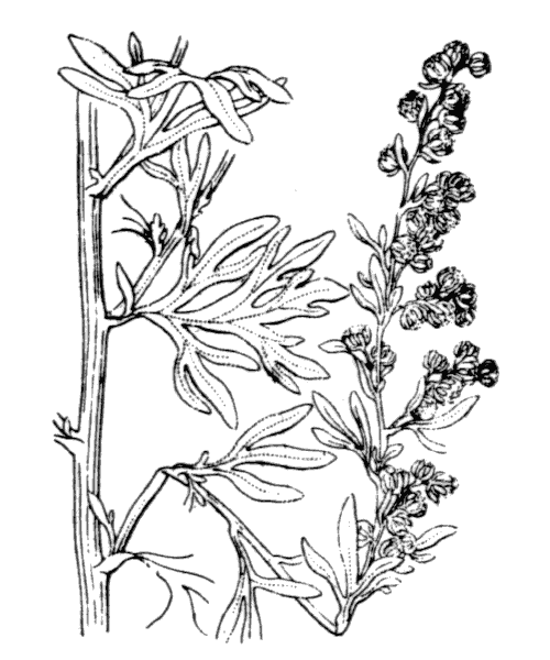 Artemisia absinthium L. - illustration de coste