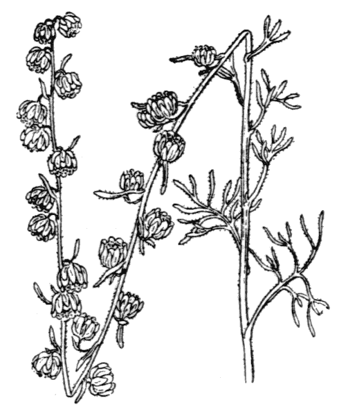 Artemisia alba Turra - illustration de coste