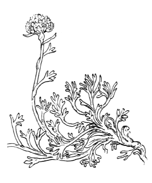 Artemisia glacialis L. - illustration de coste