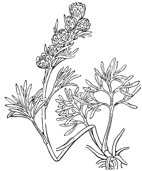 Artemisia borealis Pall. [1776] - illustration de coste