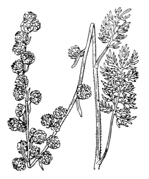 Artemisia atrata Lam. - illustration de coste
