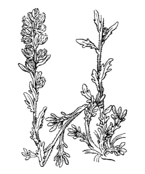 Artemisia genipi Weber - illustration de coste