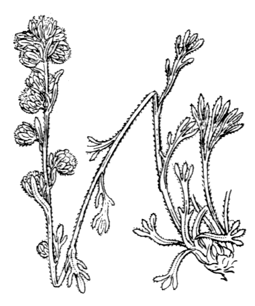 Artemisia eriantha Ten. - illustration de coste