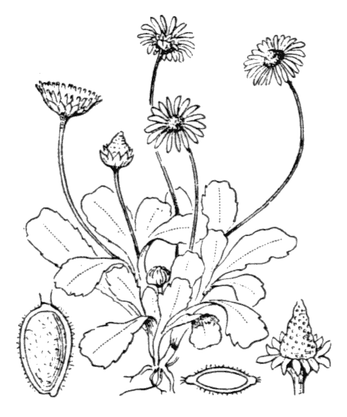 Bellis perennis L. - illustration de coste