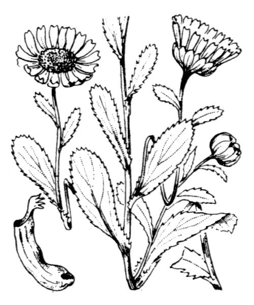 Coleostephus myconis (L.) Cass. ex Rchb.f. - illustration de coste