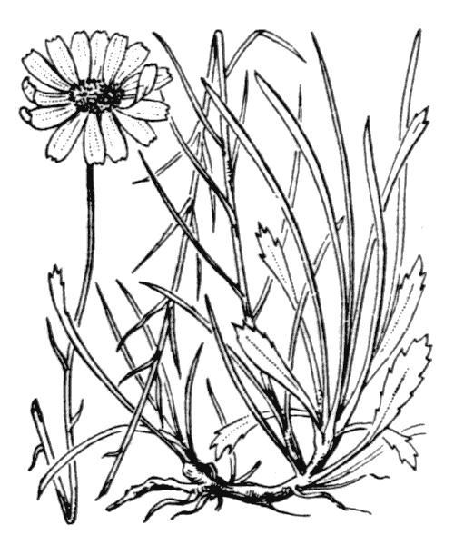 Leucanthemum graminifolium (L.) Lam. [1779] - illustration de coste