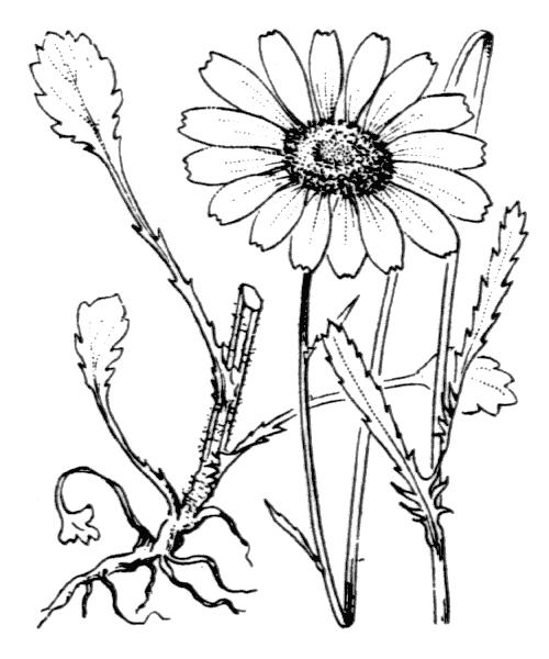 Leucanthemum vulgare Lam. - illustration de coste