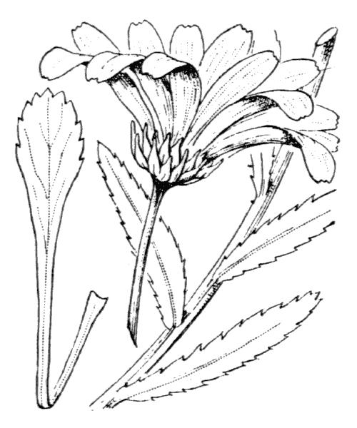 Leucanthemum cuneifolium Legrand ex H.J.Coste - illustration de coste