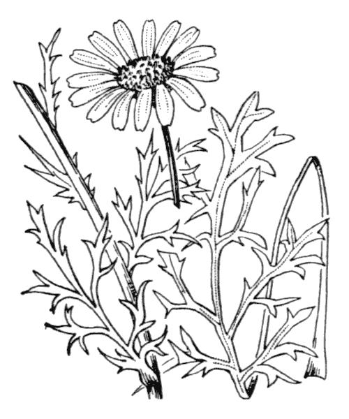 Leucanthemum monspeliense (L.) H.J.Coste - illustration de coste