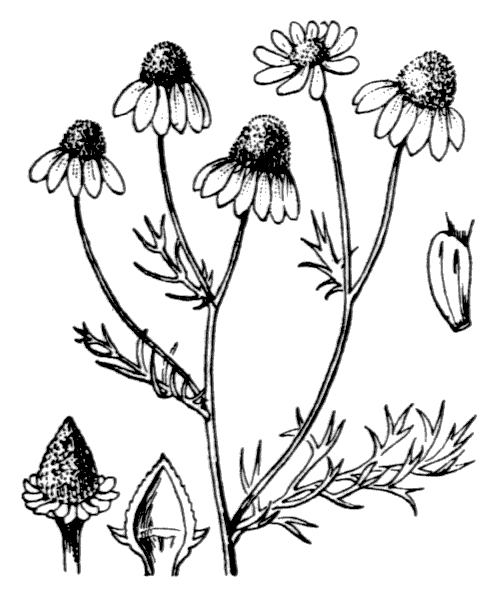 Tripleurospermum inodorum (L.) Sch.Bip. - illustration de coste
