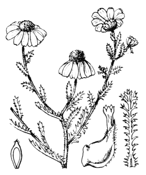 Cladanthus mixtus (L.) Chevall. - illustration de coste