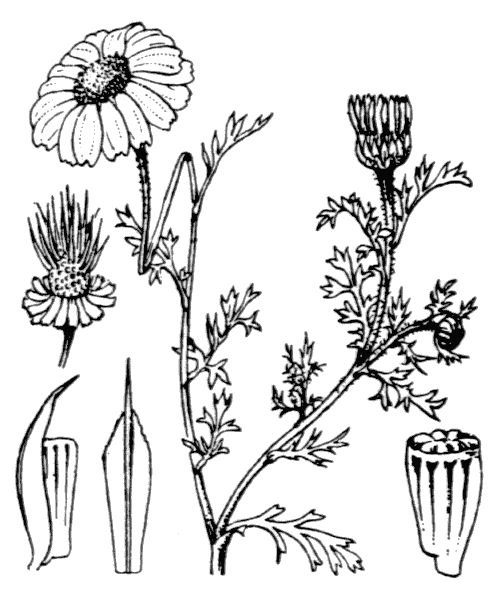 Anthemis arvensis L. - illustration de coste