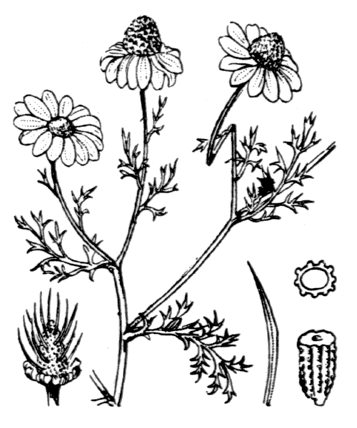 Anthemis cotula L. [1753] - illustration de coste