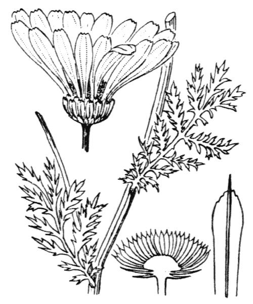 Cota triumfetti (L.) J.Gay ex Guss. [1844] - illustration de coste