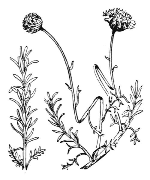 Santolina rosmarinifolia L. - illustration de coste