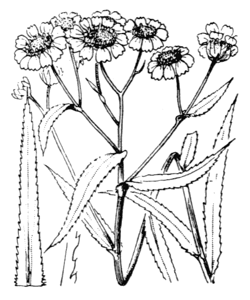 Achillea ptarmica L. [1753] - illustration de coste
