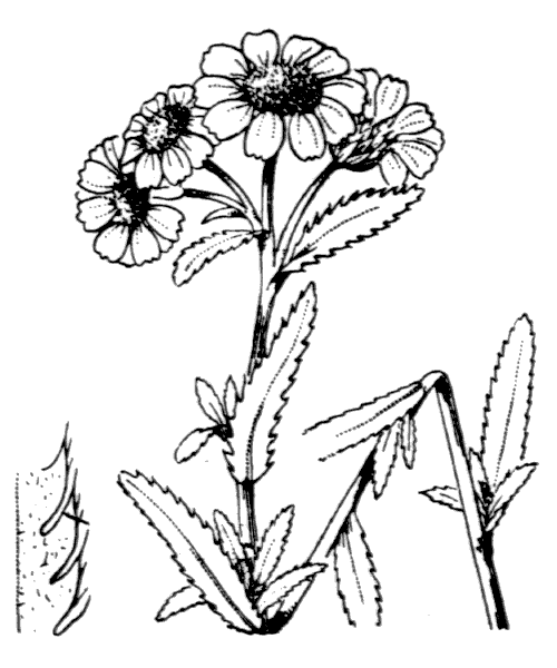 Achillea ptarmica subsp. pyrenaica (Sibth. ex Godr.) Heimerl [1884] - illustration de coste