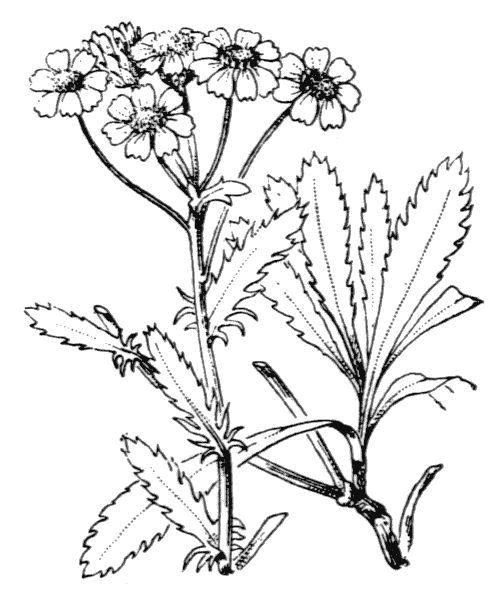 Achillea erba-rotta All. - illustration de coste