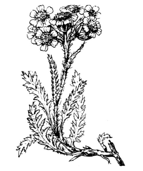 Achillea nana L. - illustration de coste