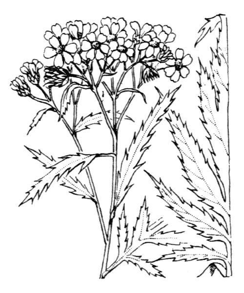Achillea macrophylla L. - illustration de coste