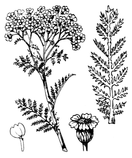 Achillea nobilis L. - illustration de coste