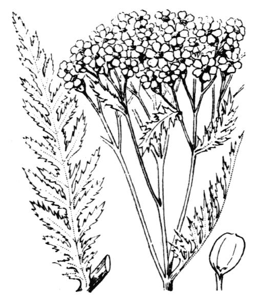 Achillea distans subsp. tanacetifolia (All.) Janch. - illustration de coste