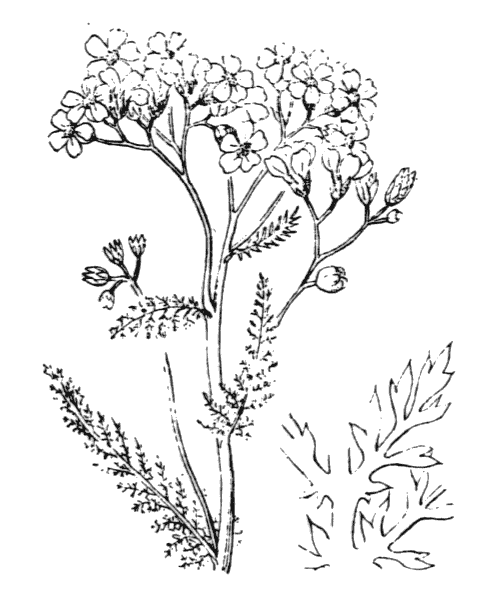 Achillea millefolium L. - illustration de coste