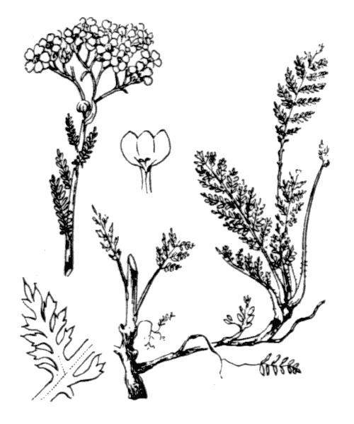 Achillea odorata L. - illustration de coste