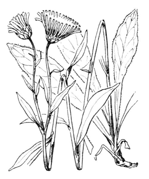 Buphthalmum salicifolium L. - illustration de coste
