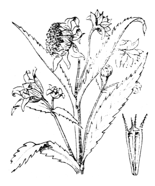 Bidens cernua L. [1753] - illustration de coste
