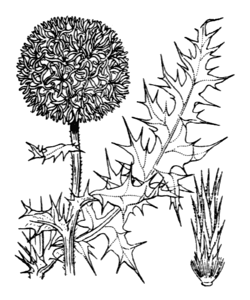 Echinops ritro L. [1753] - illustration de coste