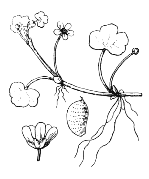 Ranunculus omiophyllus Ten. - illustration de coste