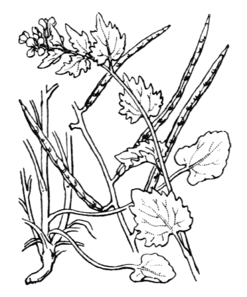 Alliaria petiolata (M.Bieb.) Cavara & Grande - illustration de coste