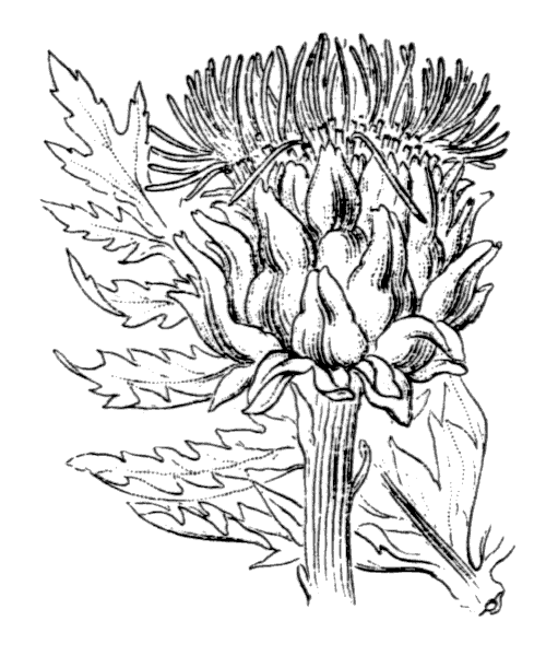 Cynara scolymus L. [1753] - illustration de coste