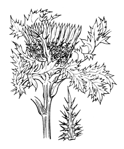 Carlina acaulis L. - illustration de coste