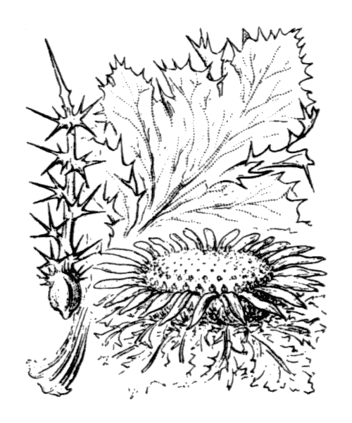 Carlina acanthifolia All. - illustration de coste
