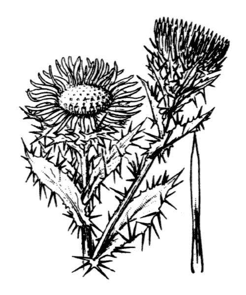 Carlina vulgaris L. - illustration de coste