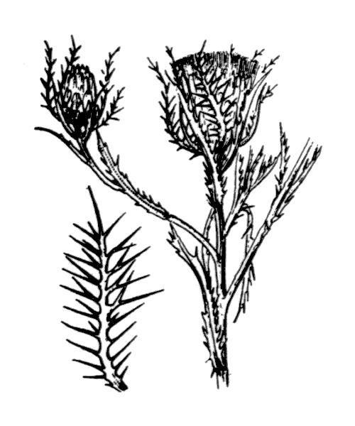 Atractylis cancellata L. - illustration de coste