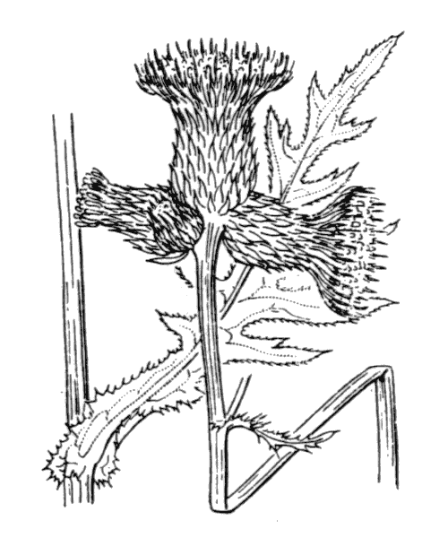 Cirsium rivulare (Jacq.) All. - illustration de coste