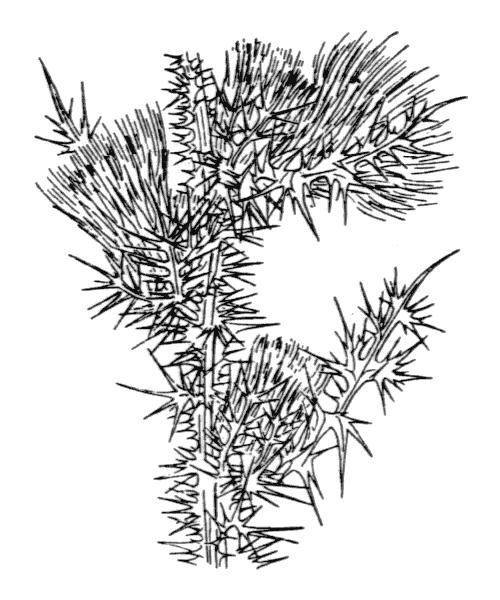 Carduus fasciculiflorus Viv. - illustration de coste