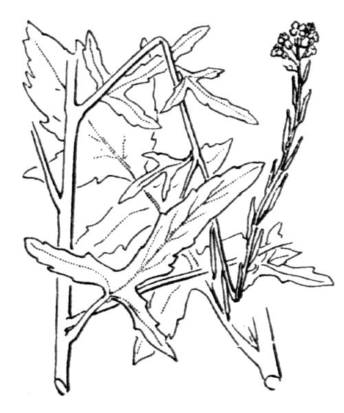 Sisymbrium officinale (L.) Scop. - illustration de coste