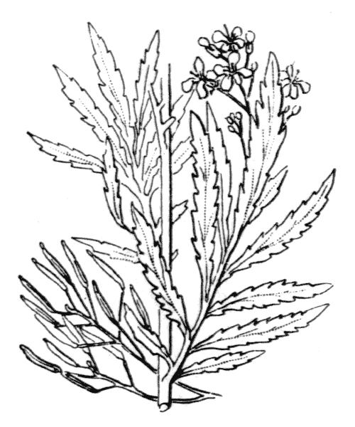 Descurainia tanacetifolia (L.) Prantl subsp. tanacetifolia - illustration de coste